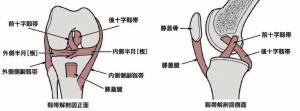 膝関節のイラスト